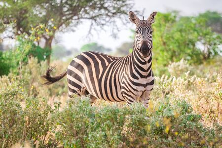 Wild zebra on savanna, Tsavo West National Park, Kenya.