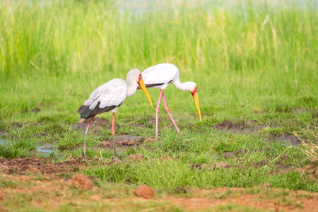 Yellow billed stork at Jipe Lake in Tsavo West National Park, Kenya Stock Photo