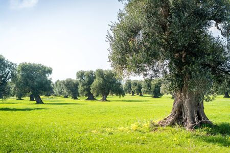 Big, old olive orchard next to Ostuni, Italy