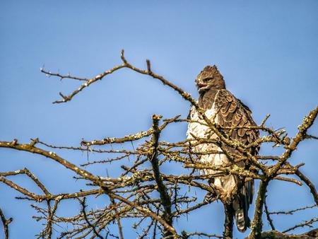 Marital eagle sitting on the top of African tree, Nairobi National Park, Kenya