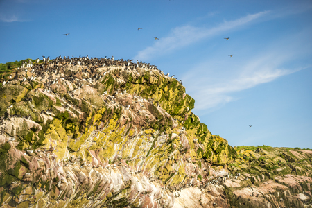 Common Murre birds in Witless Bay Ecological Park, Newfoundland and Labrador, Canada