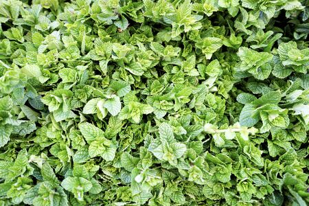 Fresh mint leaves sold on open air market in Marrakech, Morroco