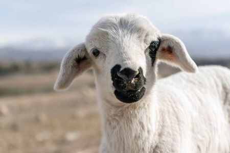Cute lamb looking into camera, mountains in the background Standard-Bild