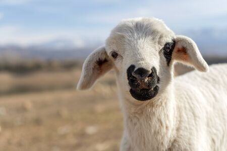 Cute lamb looking into camera, mountains in the background