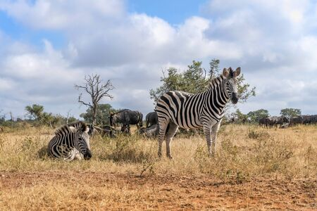 Close up of zebras in Kruger National Park, South Africa Stock Photo