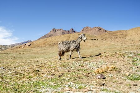 Grey, long-haired goat proudly walking in High Atlas Mountains, Morocco, Africa Banco de Imagens