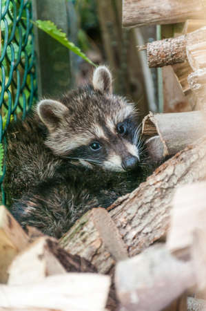 Young raccoons hide between a bridle and a pile of wood. They are waiting for the mother animal to return