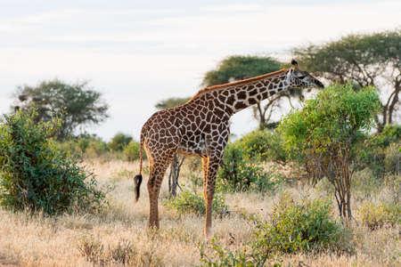 Giraffe in Kenya, Africa Stockfoto