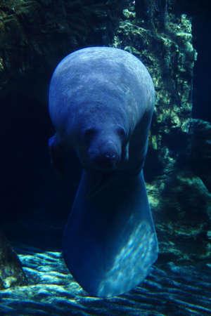 aquaria: Manatee in aquaria. Manatee swims in a tank aquarium in Genoa. GE Italy. The Aquarium of Genoa is the largest indoor aquarium in Europe, is located in the capital of Liguria Genoa in northern Italy.