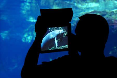 aquarium visit: Photographing a manatee aquarium. Silhouette of a man shooting a manatee with a tablet aquarium Stock Photo