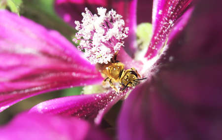 mallow: Bee on mallow flower Stock Photo