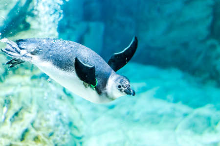 Penguins swim in the aquarium of Genoa (Italy) Stock fotó