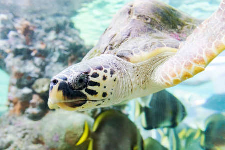 Sea turtle swims in the aquarium of Genoa (Italy). Close-up an selective focus.