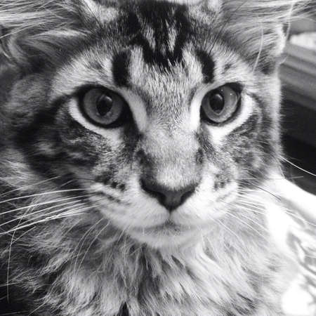 maine coon: Face of Maine-Coon-Katze