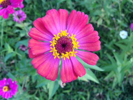 botan: Pink Zinnia flower in the garden