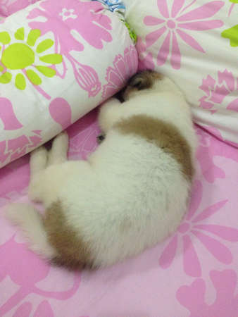 white dog: Cute puppy sleeping on the bed