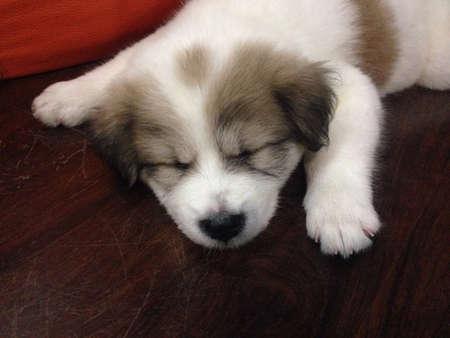 white dog: Cute puppy sleeping on the floor Stock Photo
