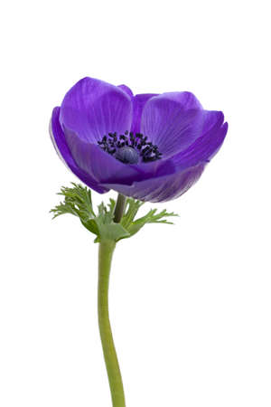anemones: Purple anemone flower