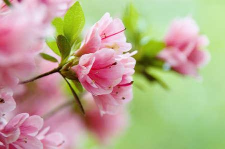 flower close up: Pink azalea in spring