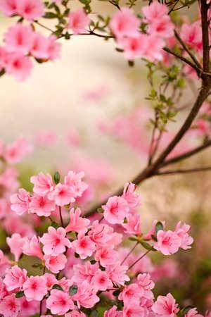 Roze azalea struik in bloei in een lentetuin Stockfoto
