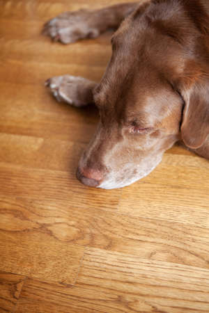 hardwood: Chocolate labrador retriever dog laying on a hardwood floor