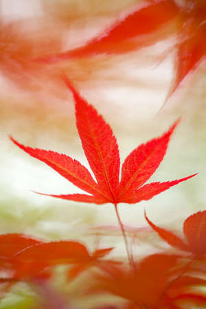 Red Japanese maple leaf close up in a spring garden