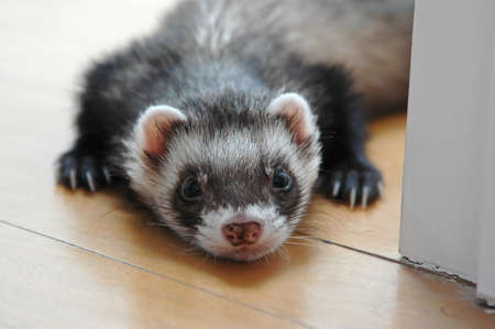 sable: Sable ferret laying down