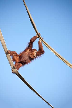 orangutang: Orangutan swinging on the ropes