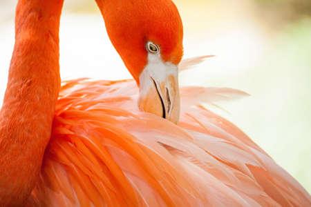 preening: Flamingo preening feathers