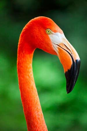 Flamingo viso e fattura da vicino Archivio Fotografico - 19699072