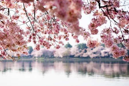 Cherry blossoms in Washington DC photo