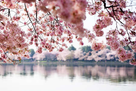 cerezos en flor: Flores de cerezo en Washington DC