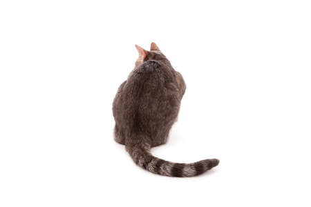 grey tabby: Tabby cat rear view isolated on white