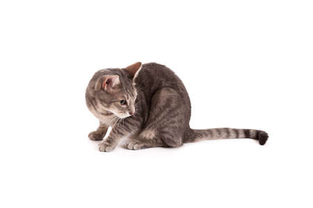 grey tabby: Tabby cat looking back isolated on white