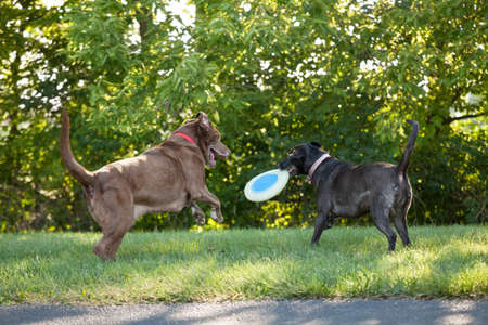 tree disc: Two labrador retrievers playing at a park