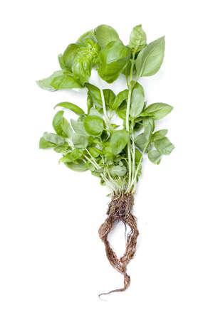 raíz de planta: Albahaca hidropónica aislado en blanco Foto de archivo