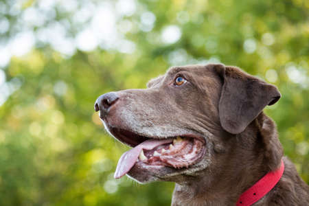 Chocolate labrador retriever face at the park with copy space Stock Photo
