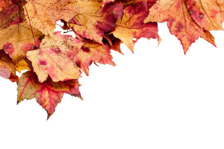 dried leaf: Dried red,yellow and brown maple leaves border isolated on a white background