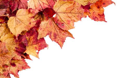 hojas secas: Arce rojo, amarillo y marr�n seca deja frontera aislado en un fondo blanco