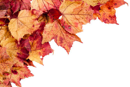 dry leaves: Dried red,yellow and brown maple leaves border isolated on a white background