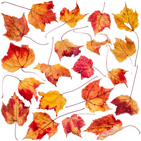 dried leaf: Collection of real red, yellow, brown and orange maple leaves with leaf mold spots isolated on a white background