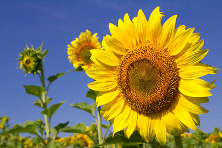 Yellow sunflower and blue sky background closeup