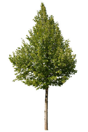 Single green tree isolated on white background Stock Photo