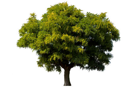 Single green acacia tree isolated on white background Archivio Fotografico
