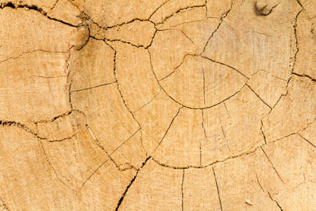 Oak tree cut wooden texture background Stock Photo - 15975775