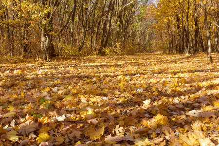 Golden yellow fall pathway in forest Stock Photo