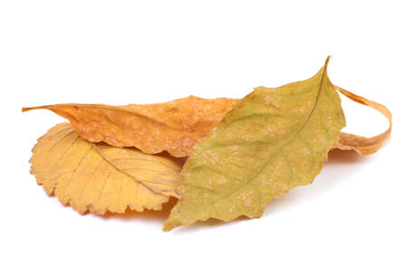 Set of three yellow leafs of isolated on a white background