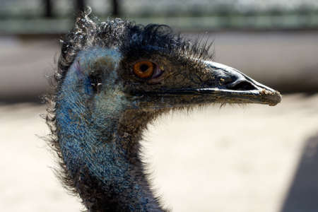 ludicrous: Ostrich head  close up photo Stock Photo