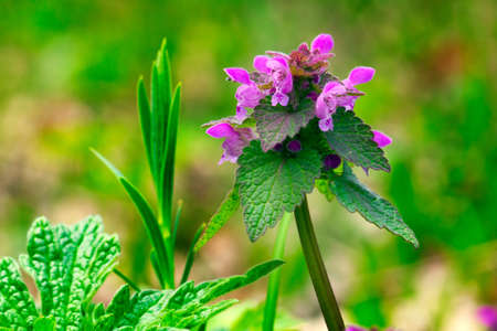 Glechoma hederacea or Creeping Charlie or Catsfoot wild flower plant macro shot