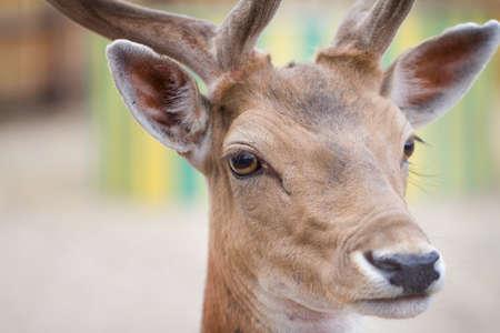 Fallow deer  Dama dama  head, close-up shot